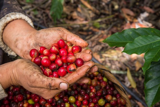 Harvesting coffee berries: Oikocredit is leading a programme to strengthen 16 coffee producers' organizations with strategies for price risk management