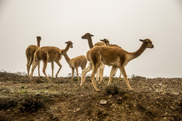 Vicuñas only reproduce in the wild.