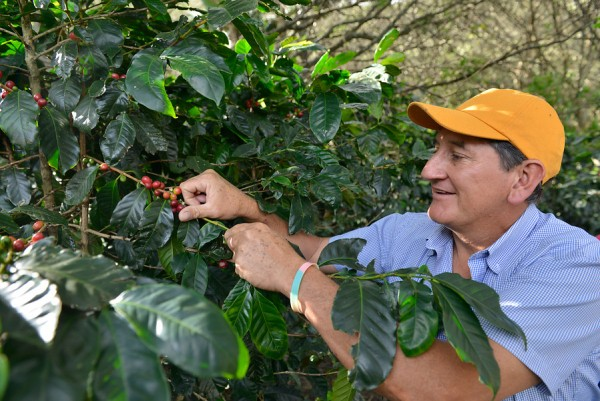 Miguel Mosquera, a farmer and member of FAPECAFES harvesting the coffee cherries in Catamayo.